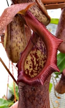 NMC821 Nepenthes ventricosa x robcantleyi XL basket